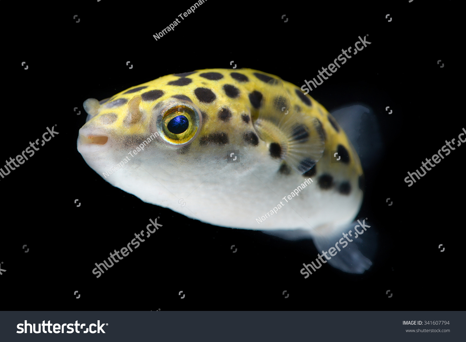 Green spotted puffer tetraodon nigroviridis wild stock for Puffer fish aquarium