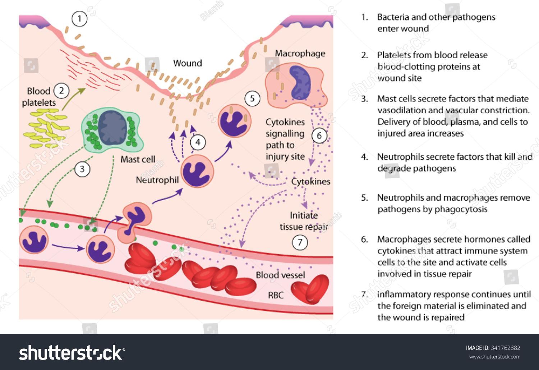 calcium regulation diagram chemical cellular factors involved inflammatory response lewis dot diagram for calcium atom #15