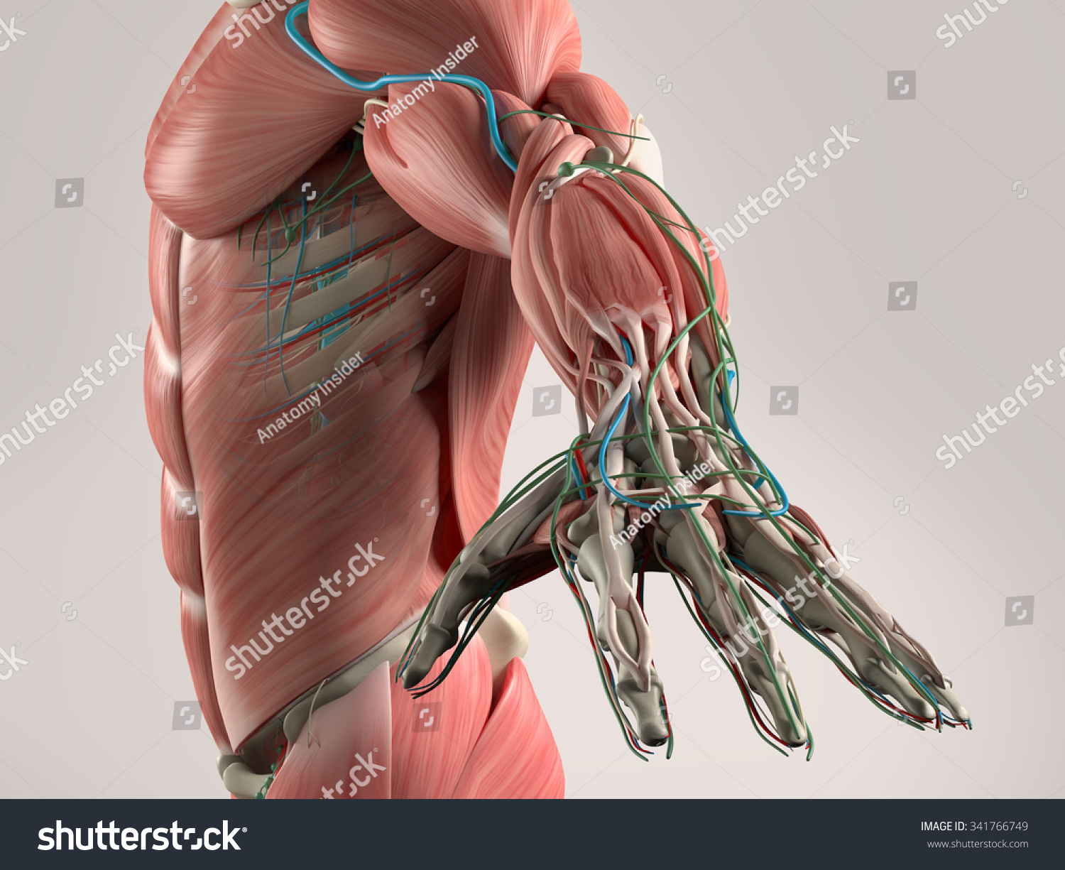 Human Anatomy View Torso Arm Showing Stock Illustration 341766749 ...