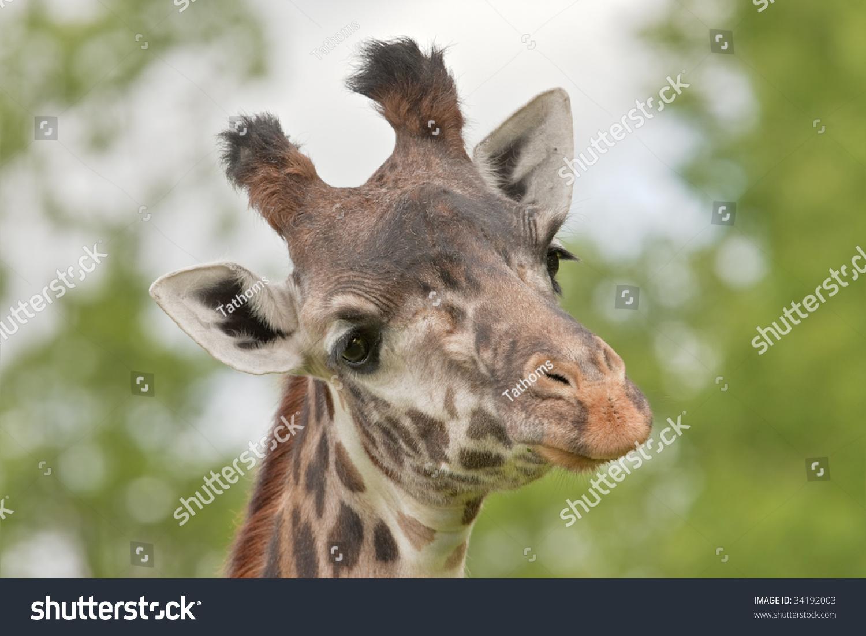 Skeptical giraffe