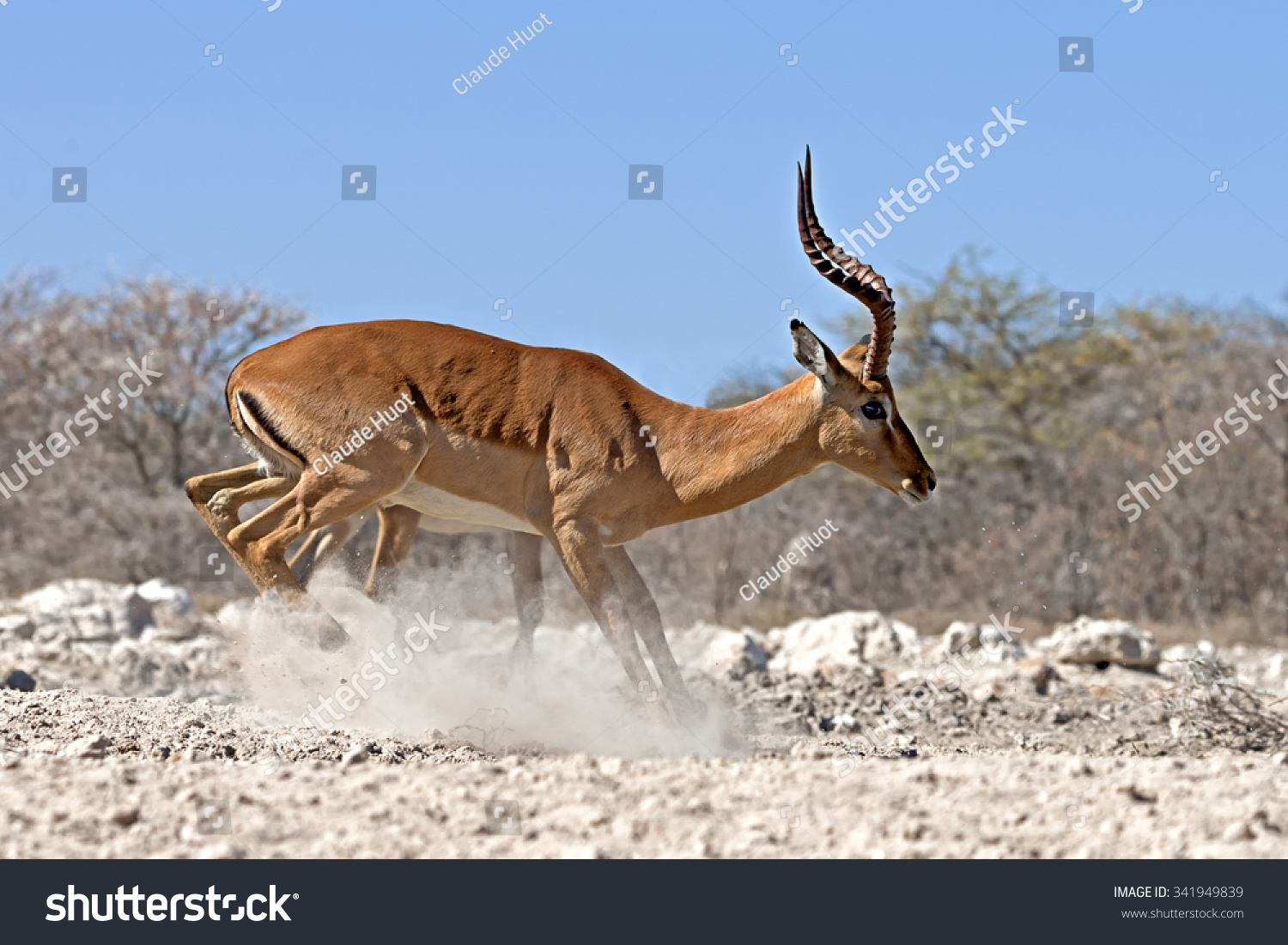 Male black-faced impala (Aepyceros melampus petersi) jumping when hearing a strange noise while drinking at a waterhole in Onguma Game Reserve, Etosha, Namibia.