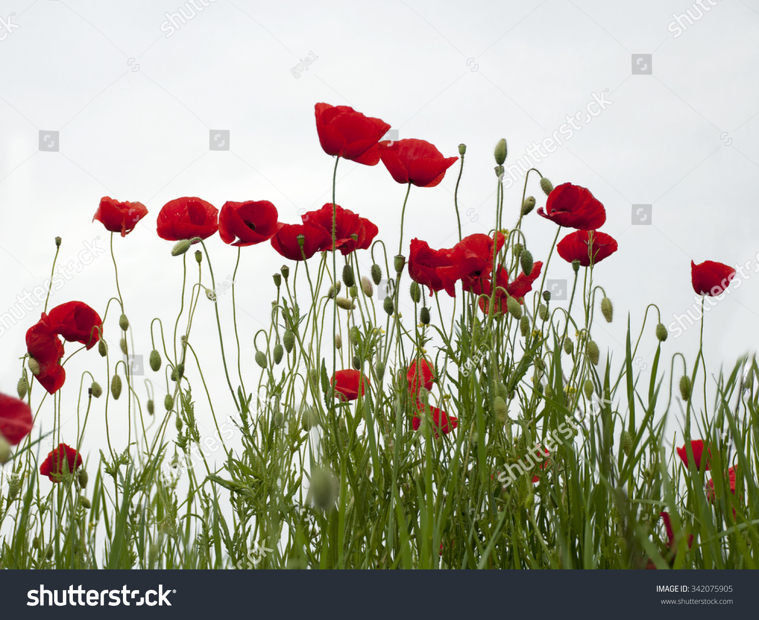 Red Poppies After Rain Stock Photo Edit Now 342075905 Shutterstock