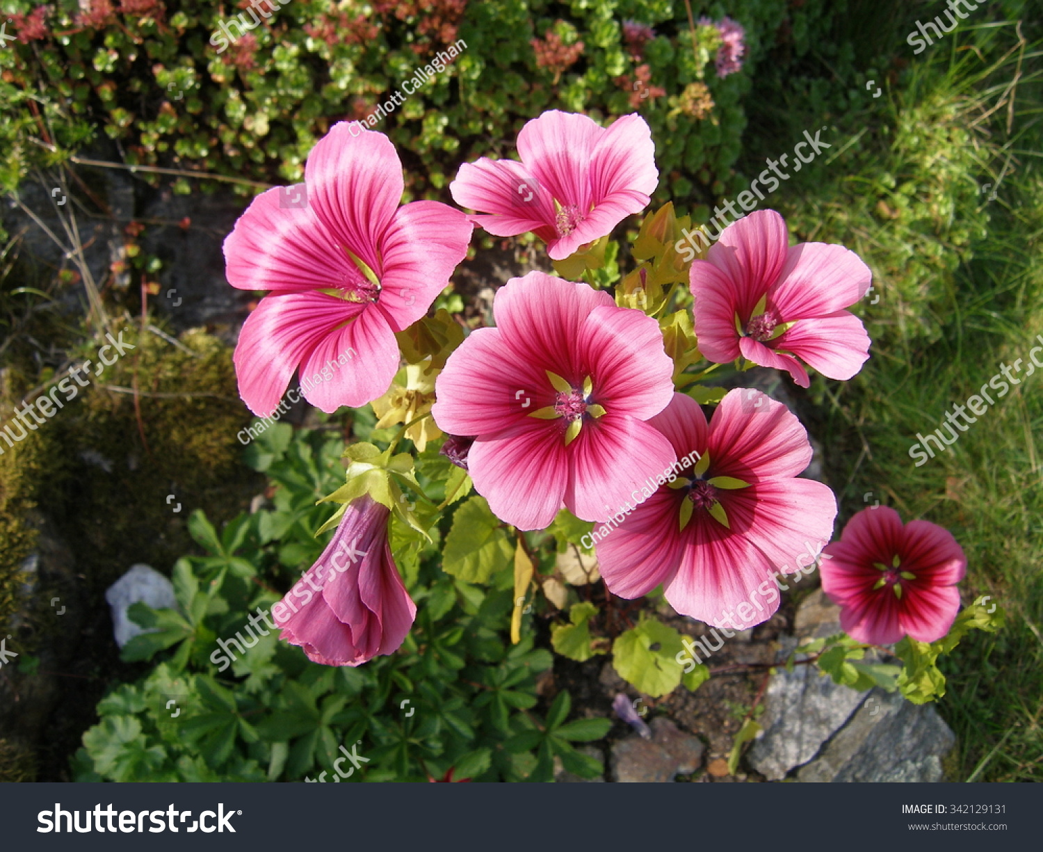 Pretty Pink Flowers Annual Malope Stock Photo Edit Now 342129131
