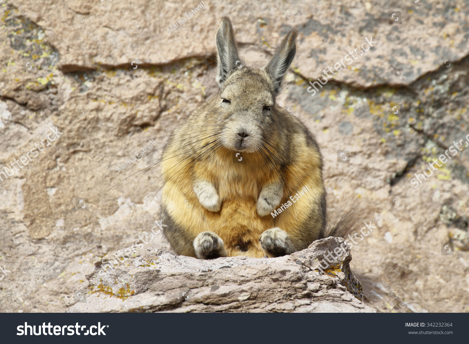 mountain viscacha lagidium viscacia sitting on stock photo 342232364 shutterstock. Black Bedroom Furniture Sets. Home Design Ideas