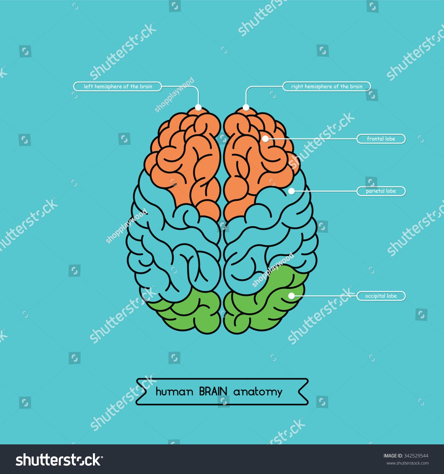 Human Brain Anatomy Structure Human Brain Stock Vector (Royalty Free ...