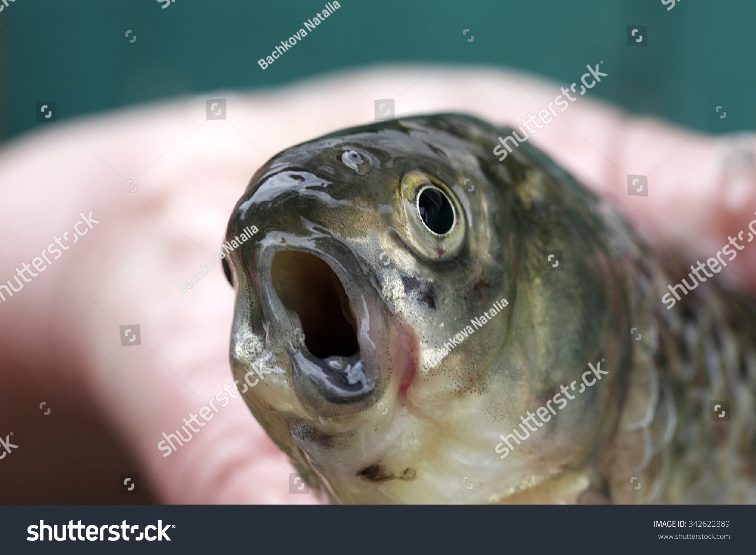 Weird funny fish his mouth open stock photo 342622889 for Funny fish pictures