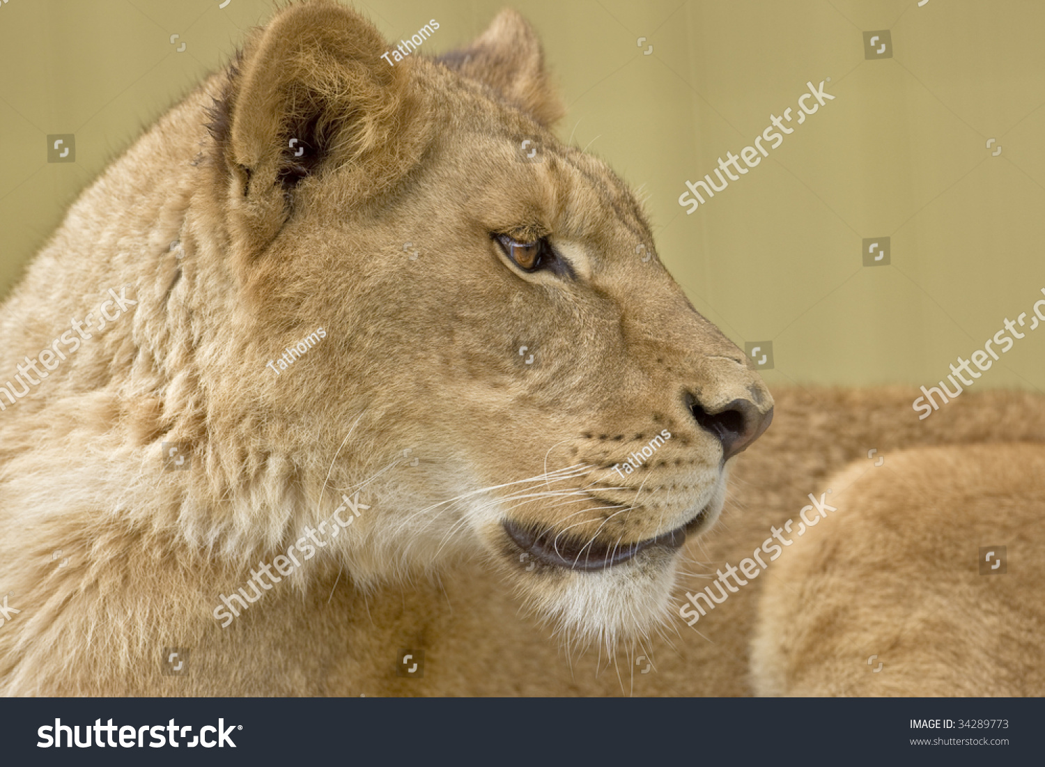 stock-photo-african-lion-profile-3428977