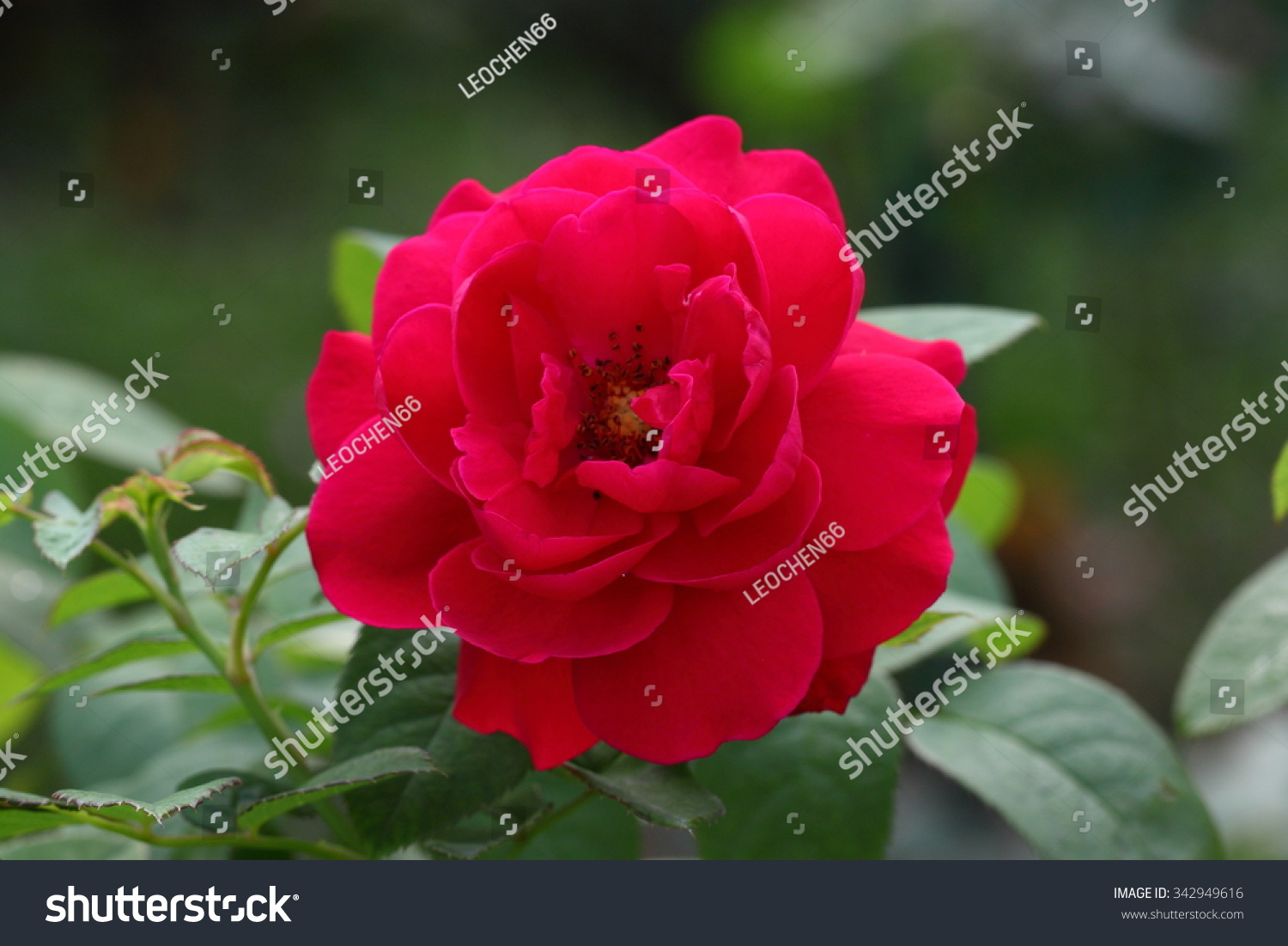 Beautiful rose flower garden rose stock photo edit now 342949616 beautiful rose flower in the gardenrose izmirmasajfo