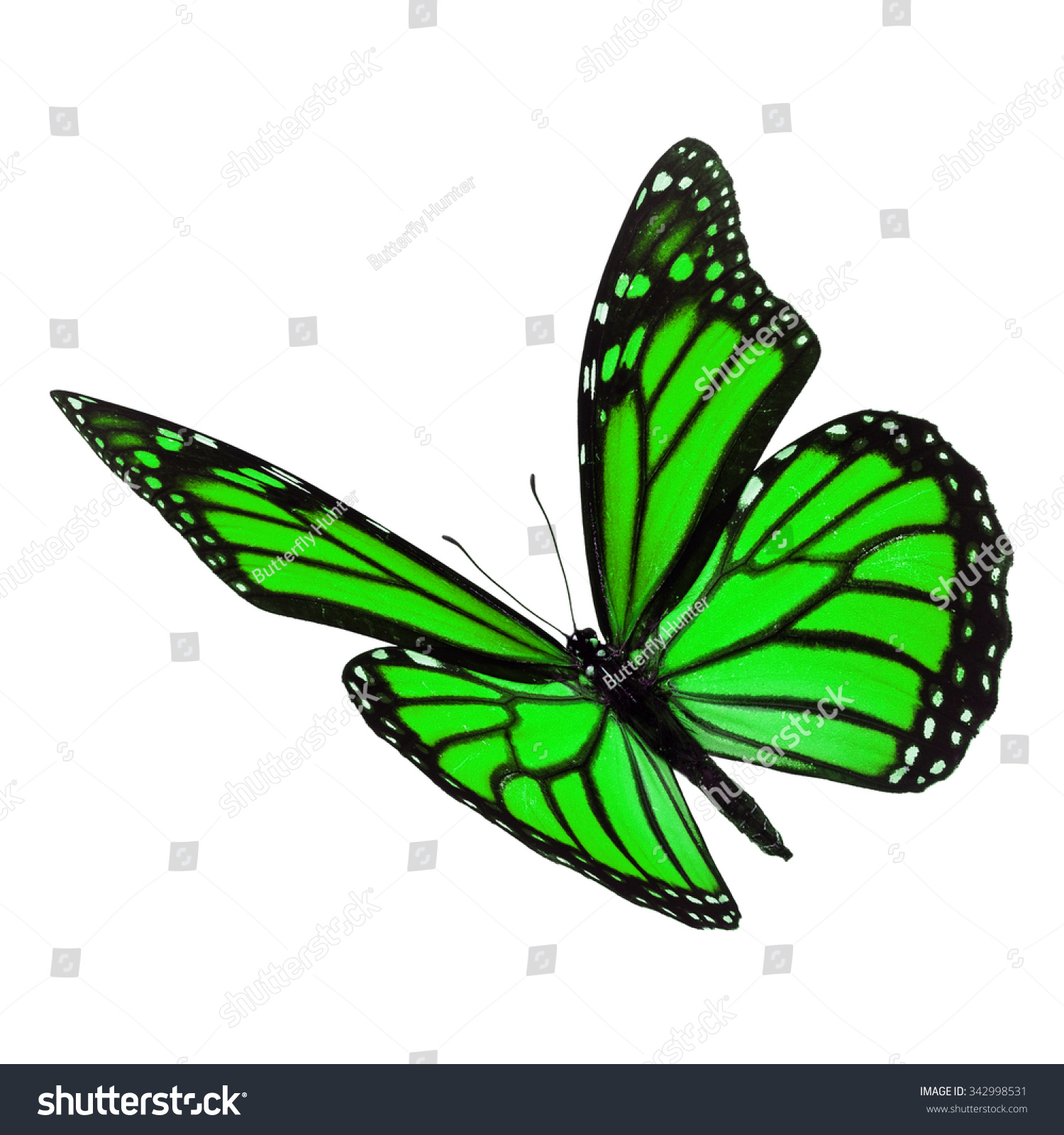 beautiful green monarch butterfly flying isolated stock photo