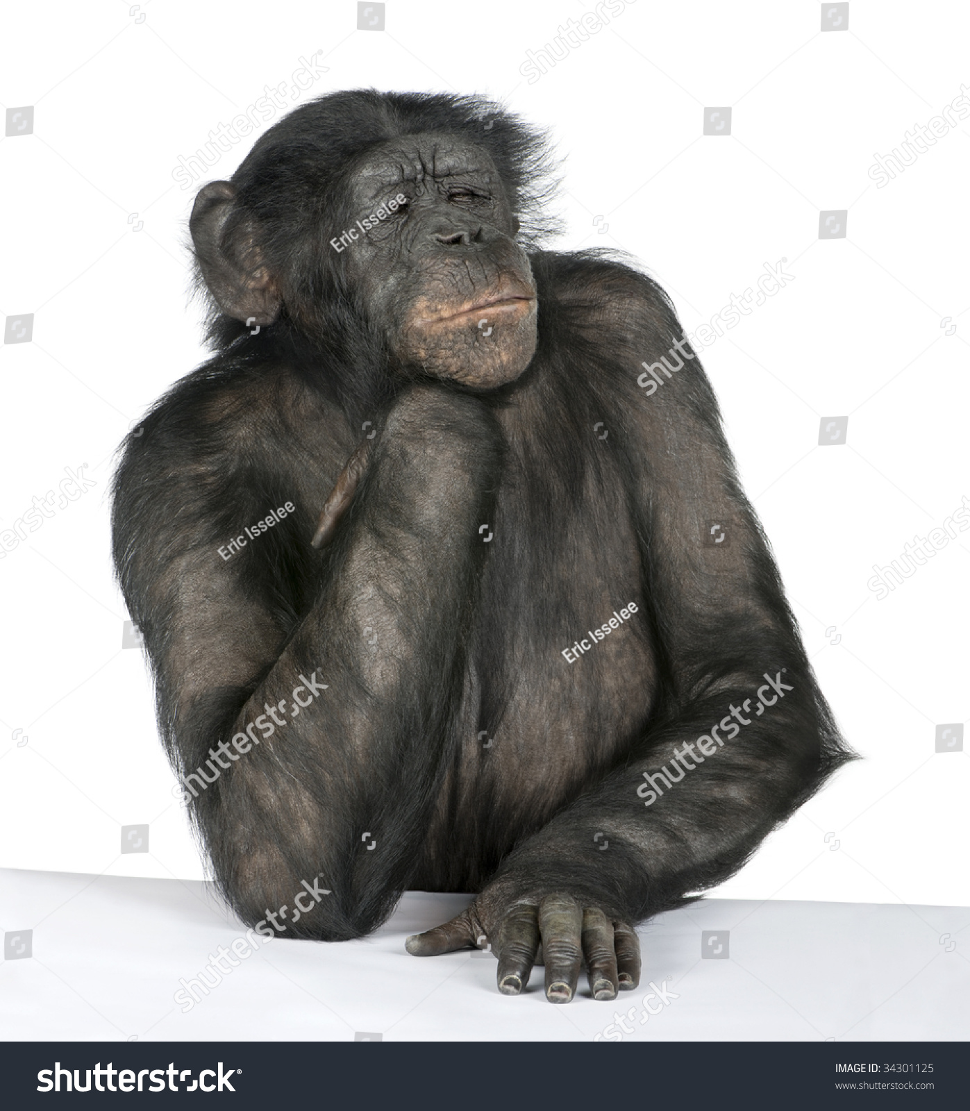 Monkey At A Table (Mixed Breed Between Chimpanzee And Bonobo) (20 Years