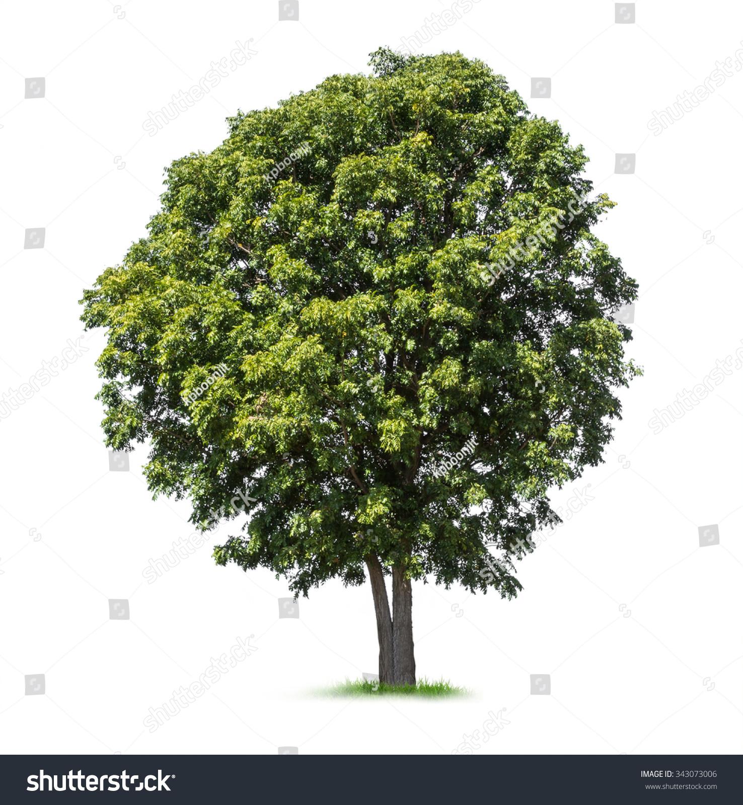Isolated Neem Tree On White Background Stock Photo Edit Now
