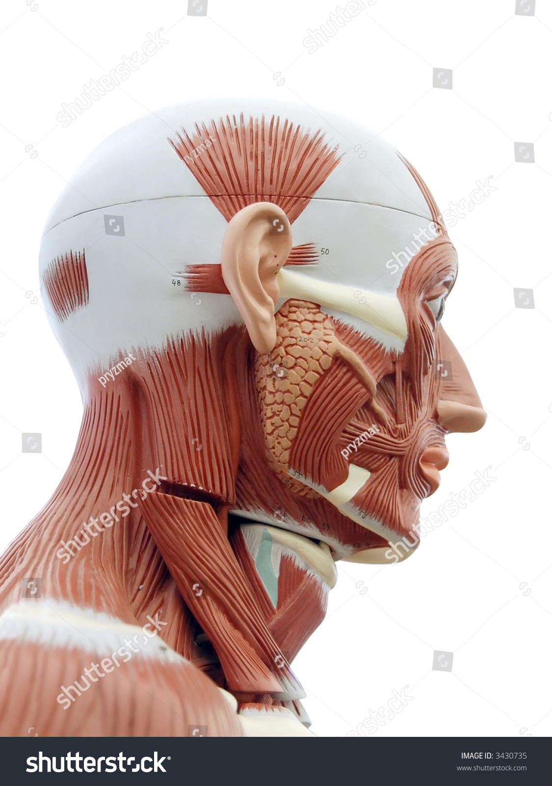 Human Anatomy Structure Head Muscles Tendons Stock Photo Edit Now