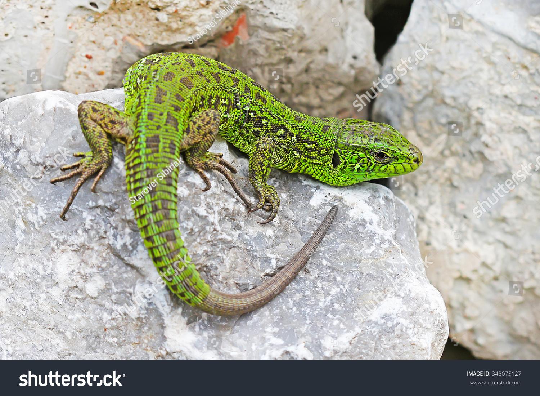 к чему снятся большие зеленые ящерицы хозяйственная