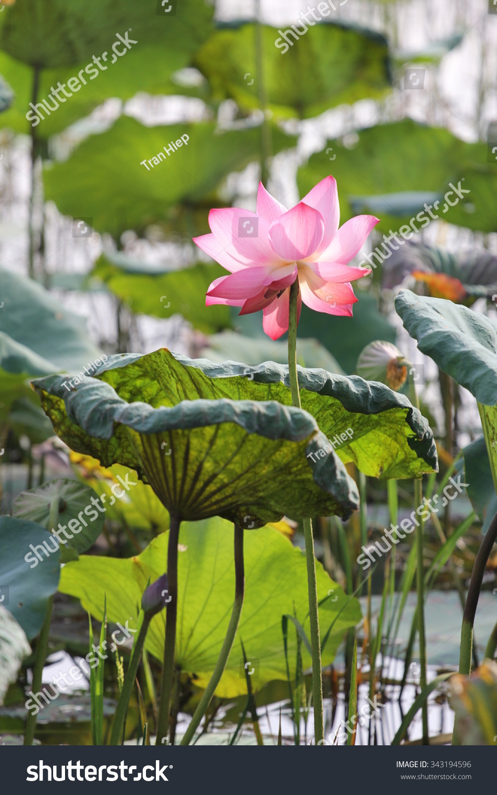 Lotus Flowers Present Many Parts World Stock Photo Edit Now