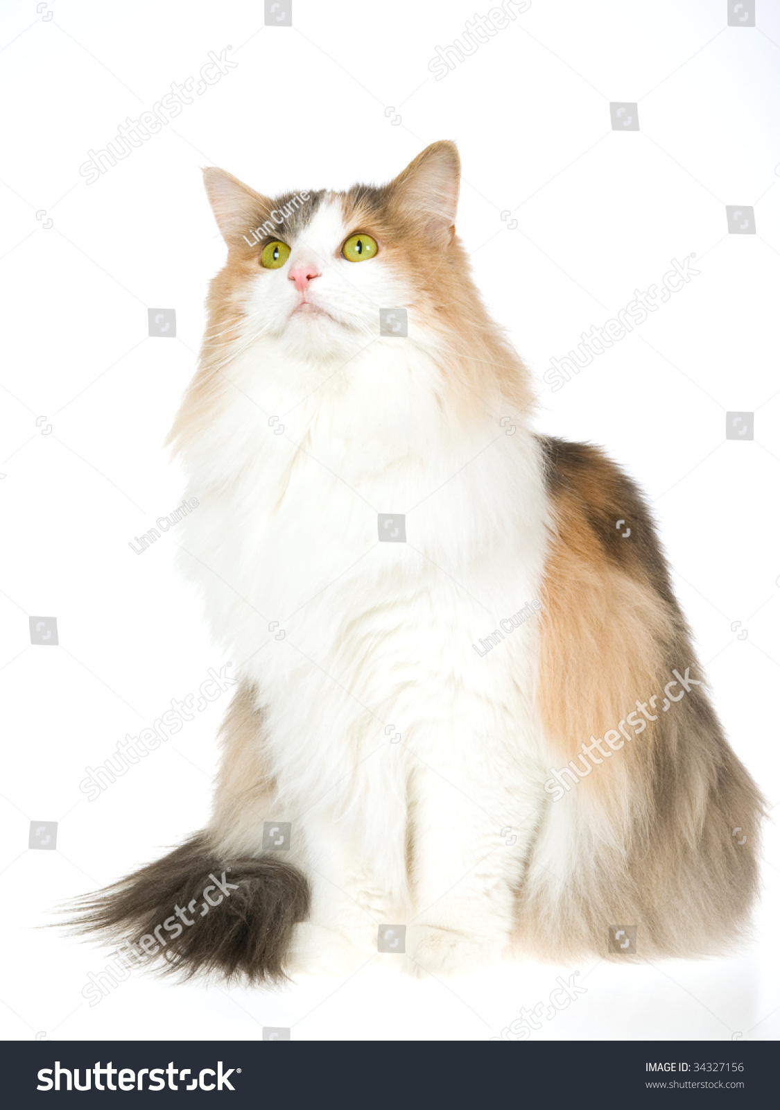 Norwegian Forest Cat Calico, Sitting, On White Background ...