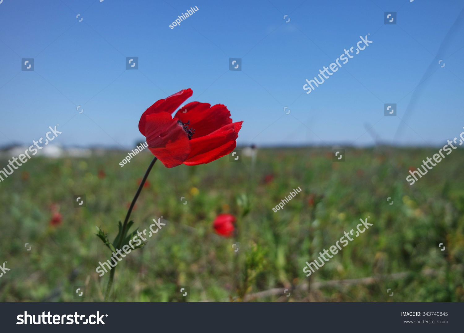 Poppy Flower Wind Stock Photo Royalty Free 343740845 Shutterstock