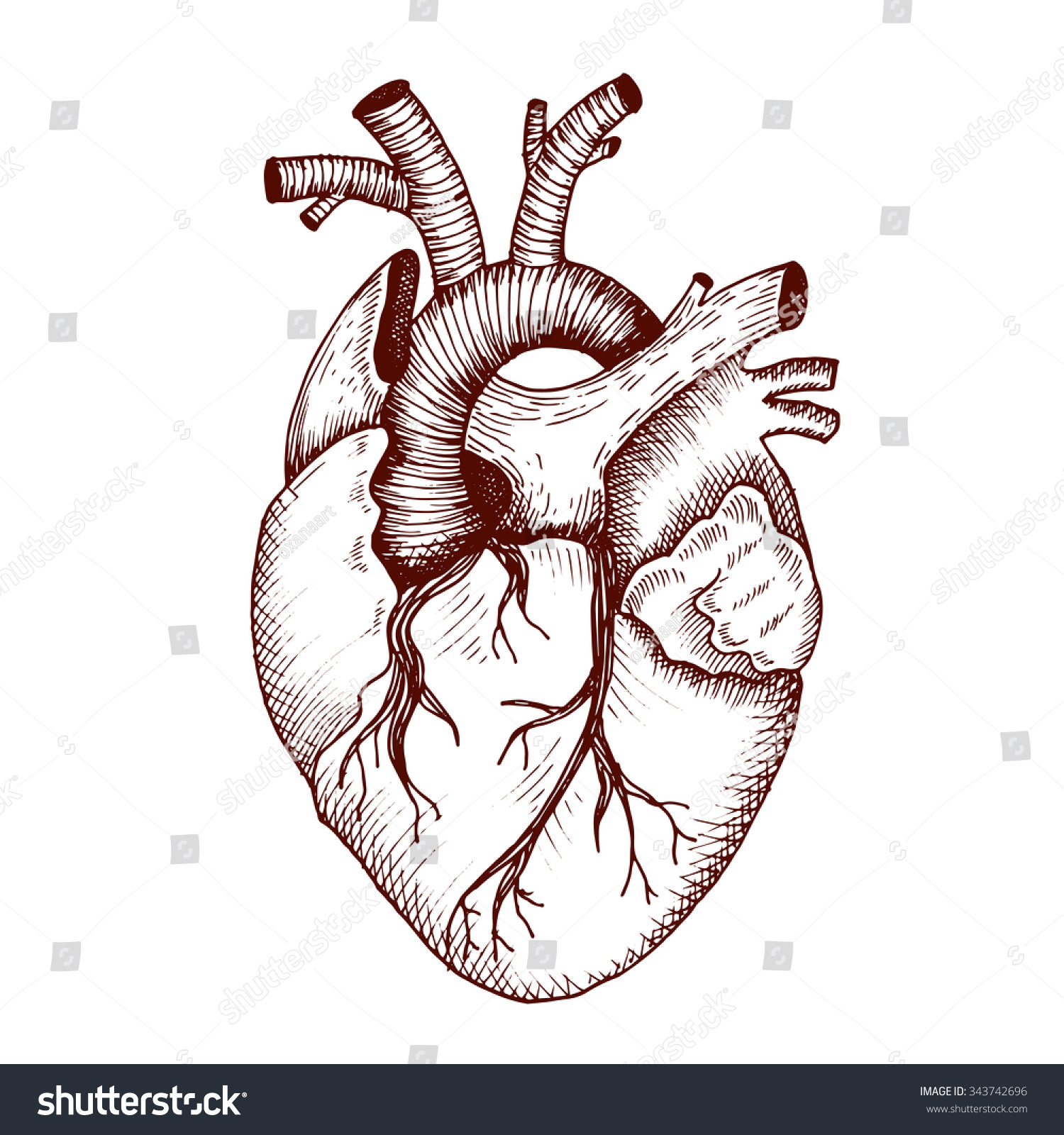 Anatomical Heart Vector Vintage Style Detailed Stock Photo (Photo ...