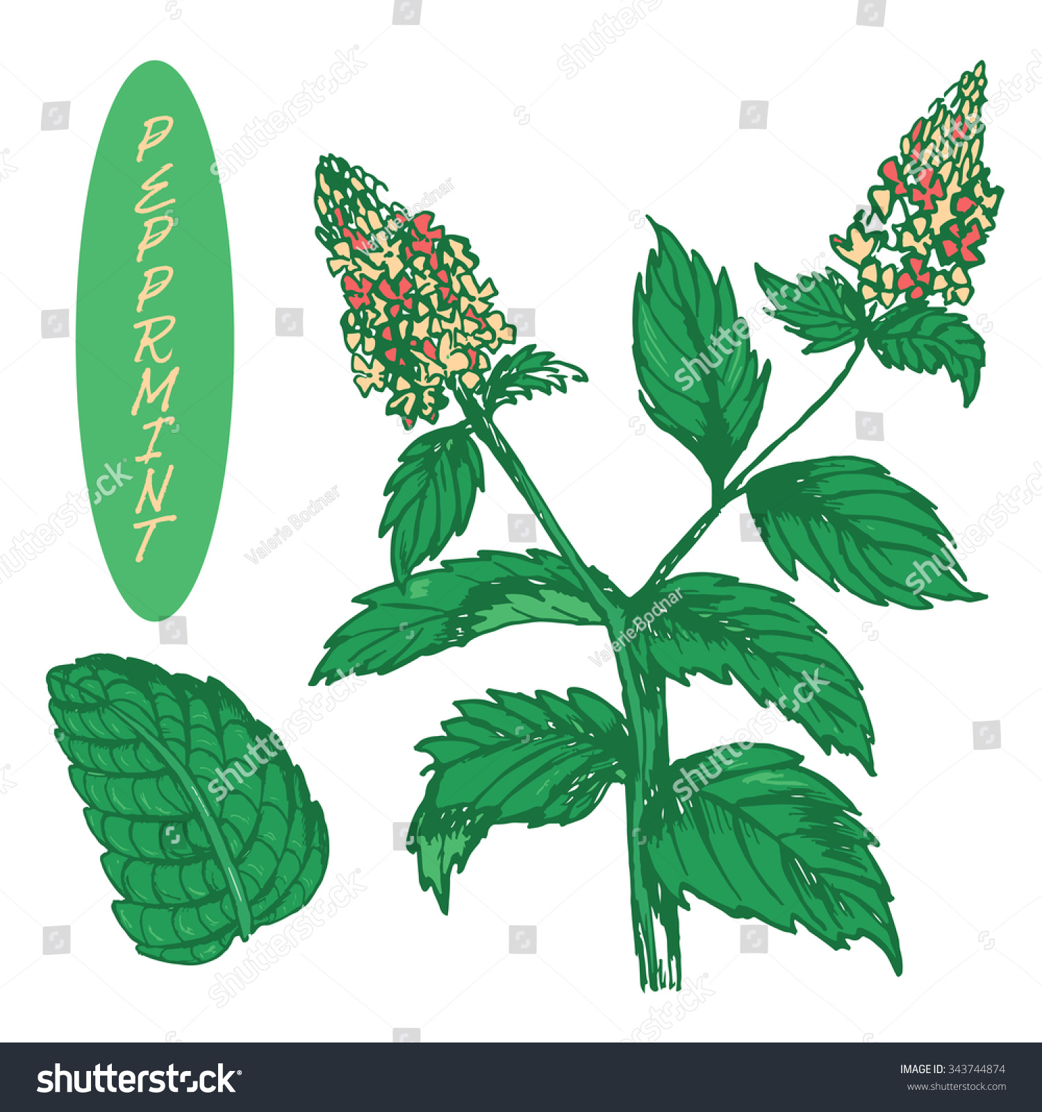 Set Medicinal Herbs Colorful Peppermint Vector Stock ...