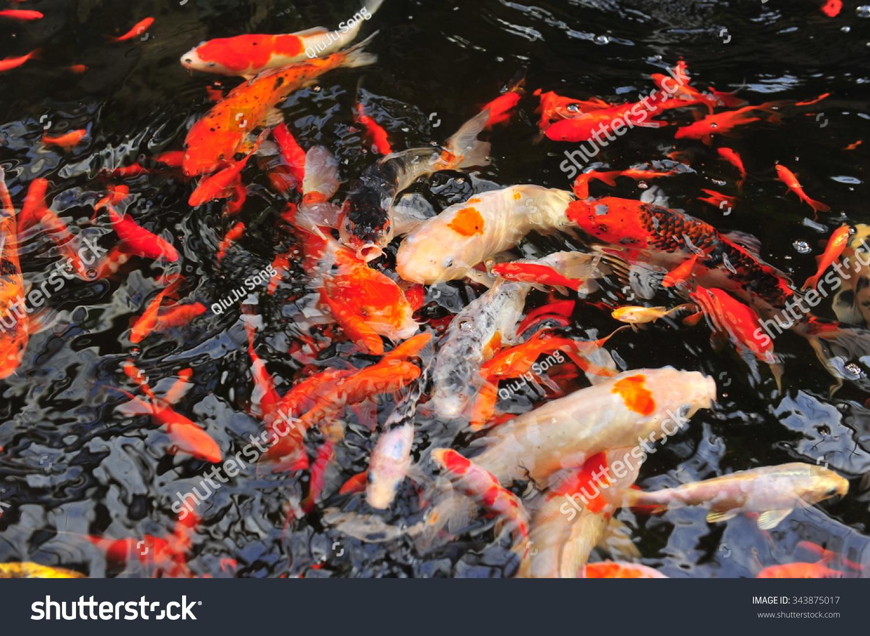 Koi Fish Pond Stock Photo (Download Now) 343875017 - Shutterstock