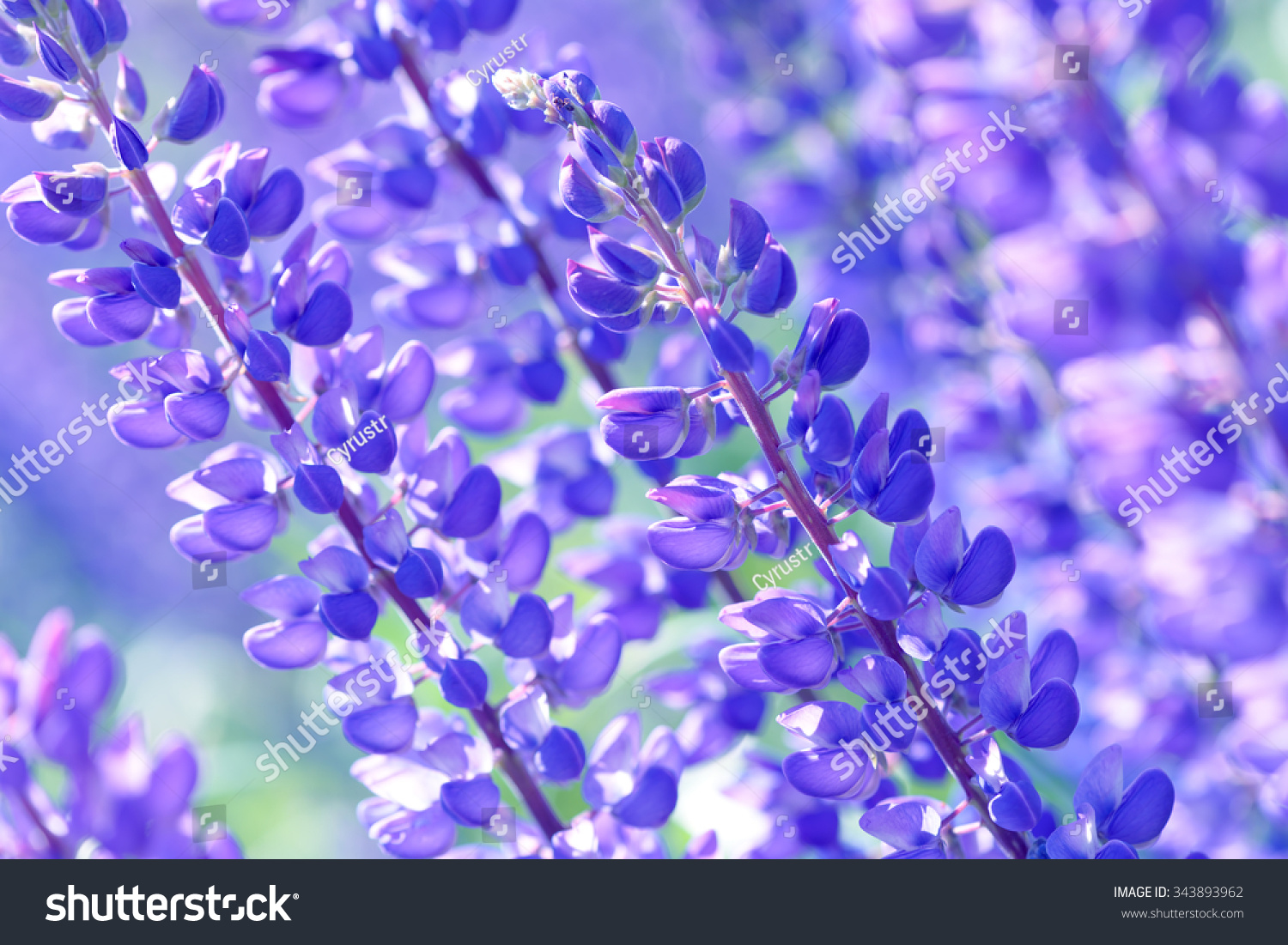 Lupinus Lupin Lupine Field With Pink Purple And Blue Flowers Ez