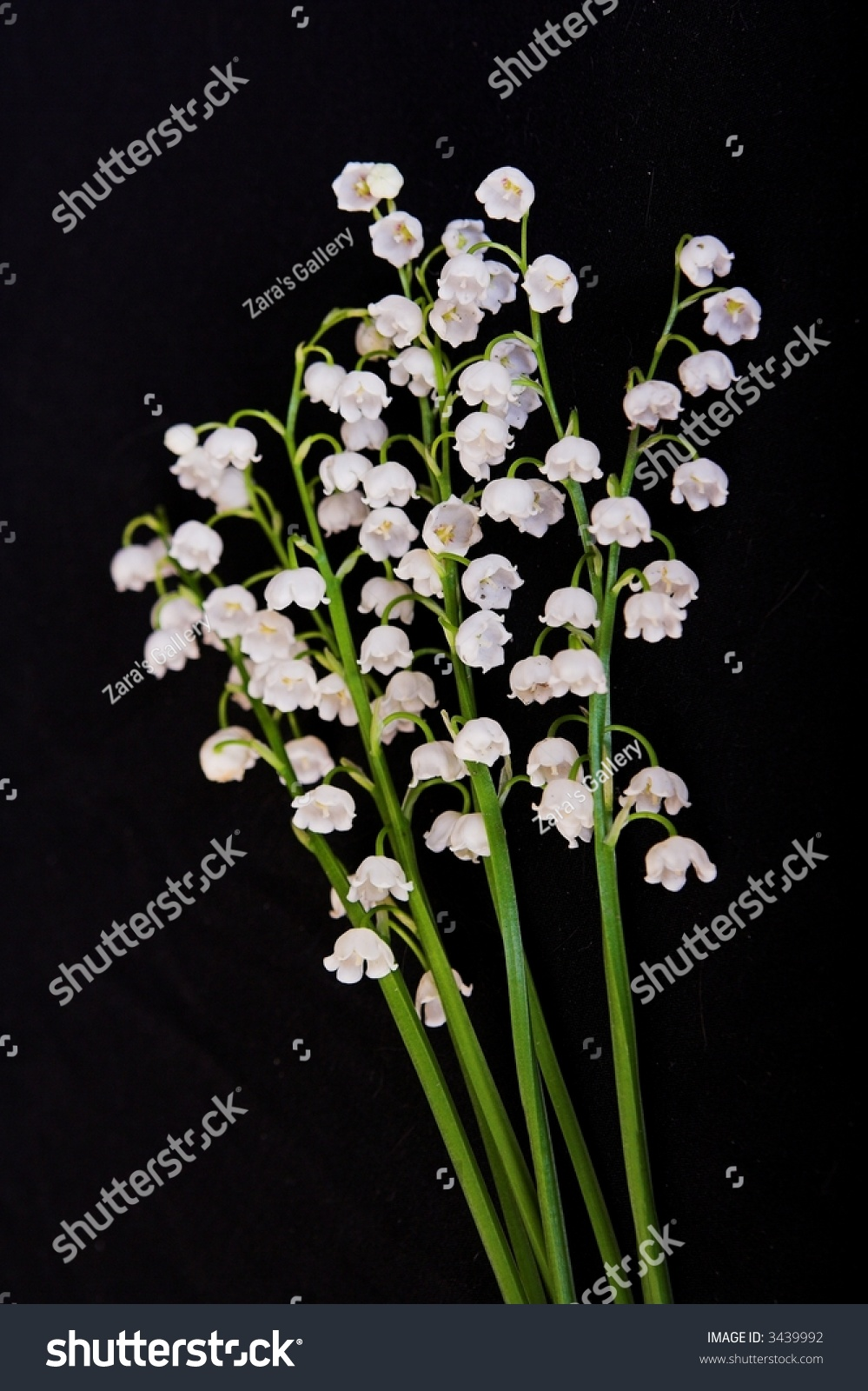 Aspidistra lilyofthevalley white flowers isolated on stock photo aspidistra lily of the valley white flowers isolated on black background aspidistra lilyofthevalley izmirmasajfo Gallery