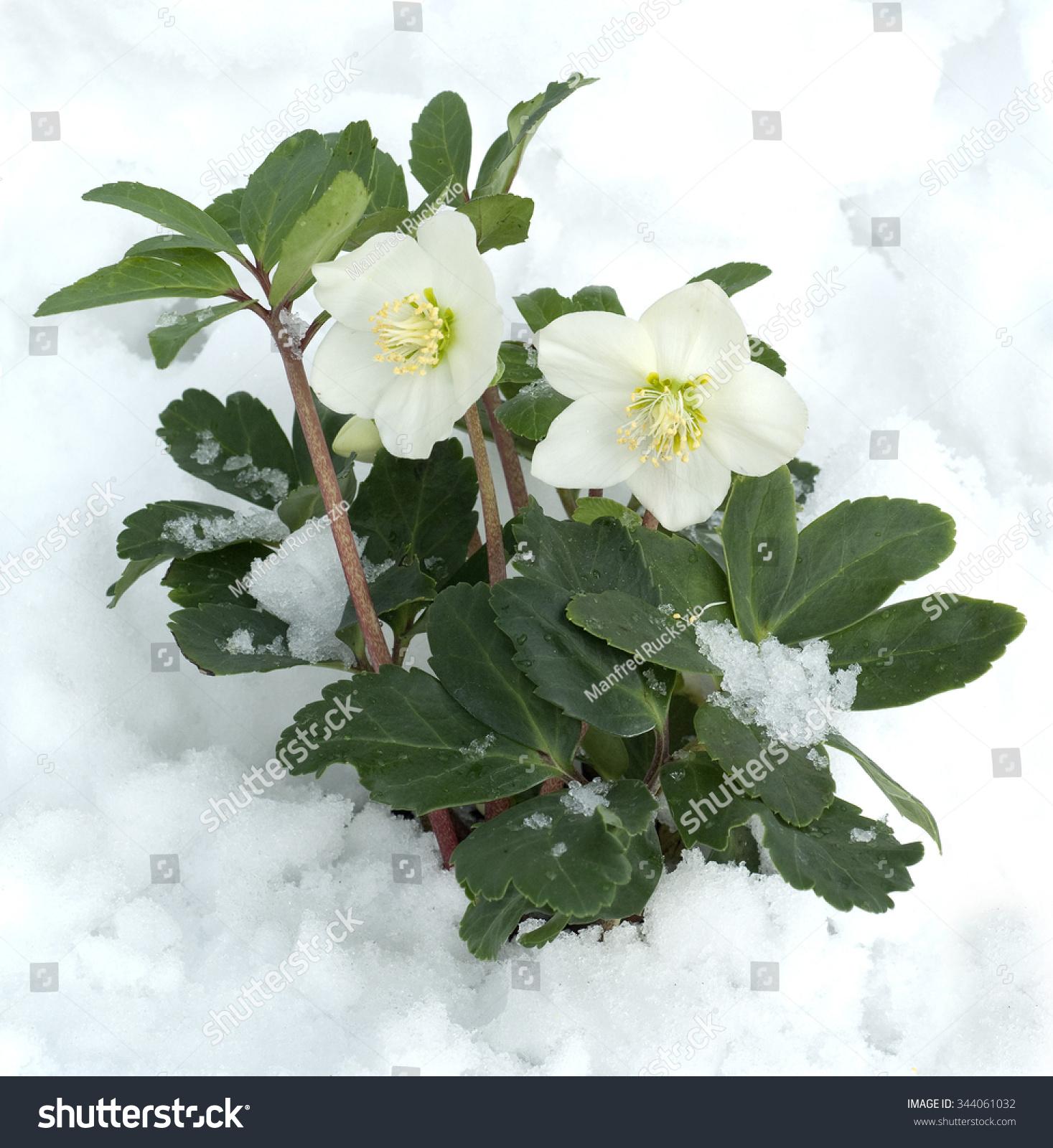 christmas rose helleborus niger stock photo 344061032 shutterstock. Black Bedroom Furniture Sets. Home Design Ideas