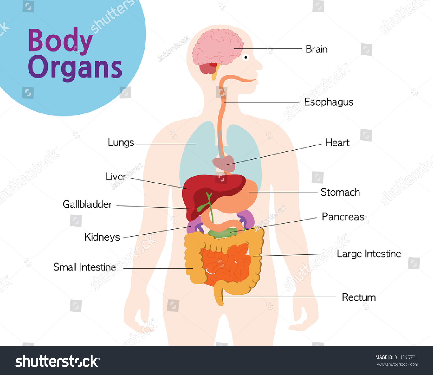 Picture Organs Your Body Stock Vector 344295731 - Shutterstock