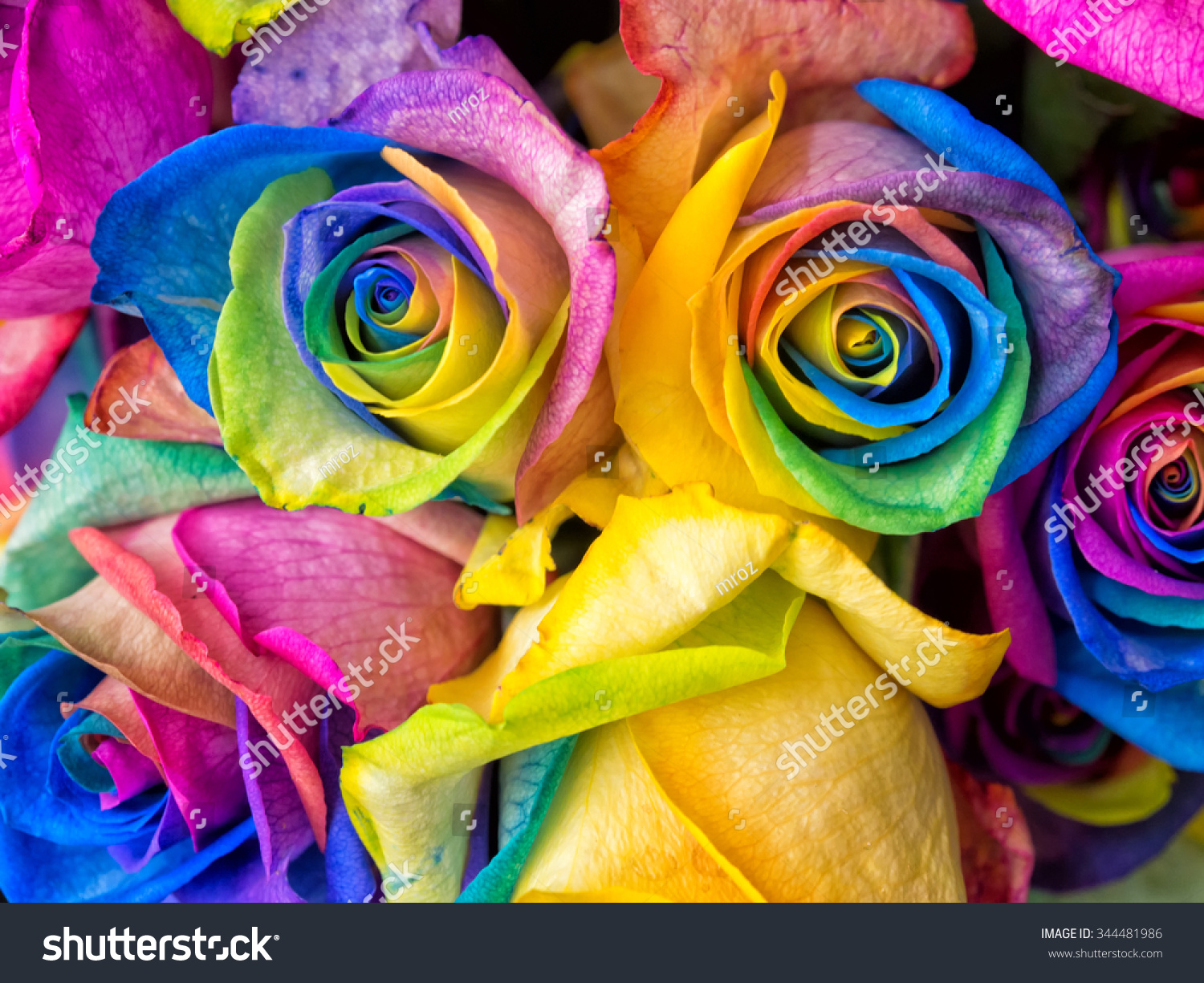 Rainbow rose colourful roses closeup macro stock photo for How much are rainbow roses