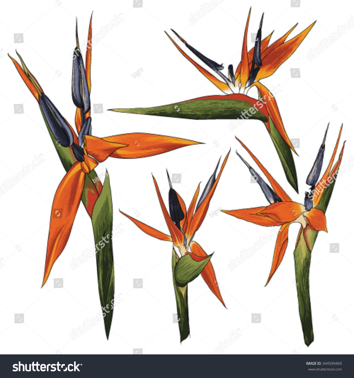 Batch bird paradise flower vector drawings stock vector 344599469 batch of bird of paradise flower vector drawings strelitzia reginae eps8 buycottarizona