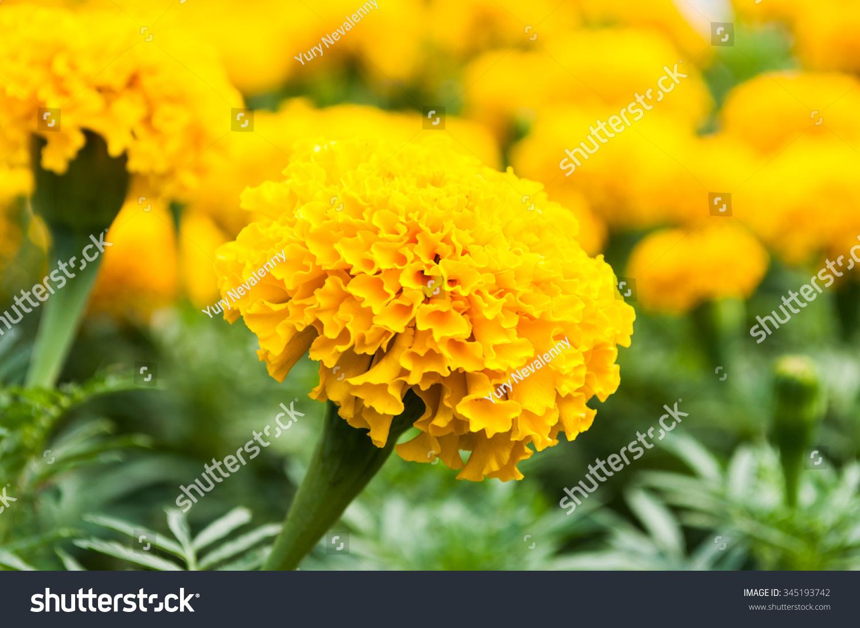 Yellow Marigold Flowers Wallpaper Stock Photo 345193742 ...