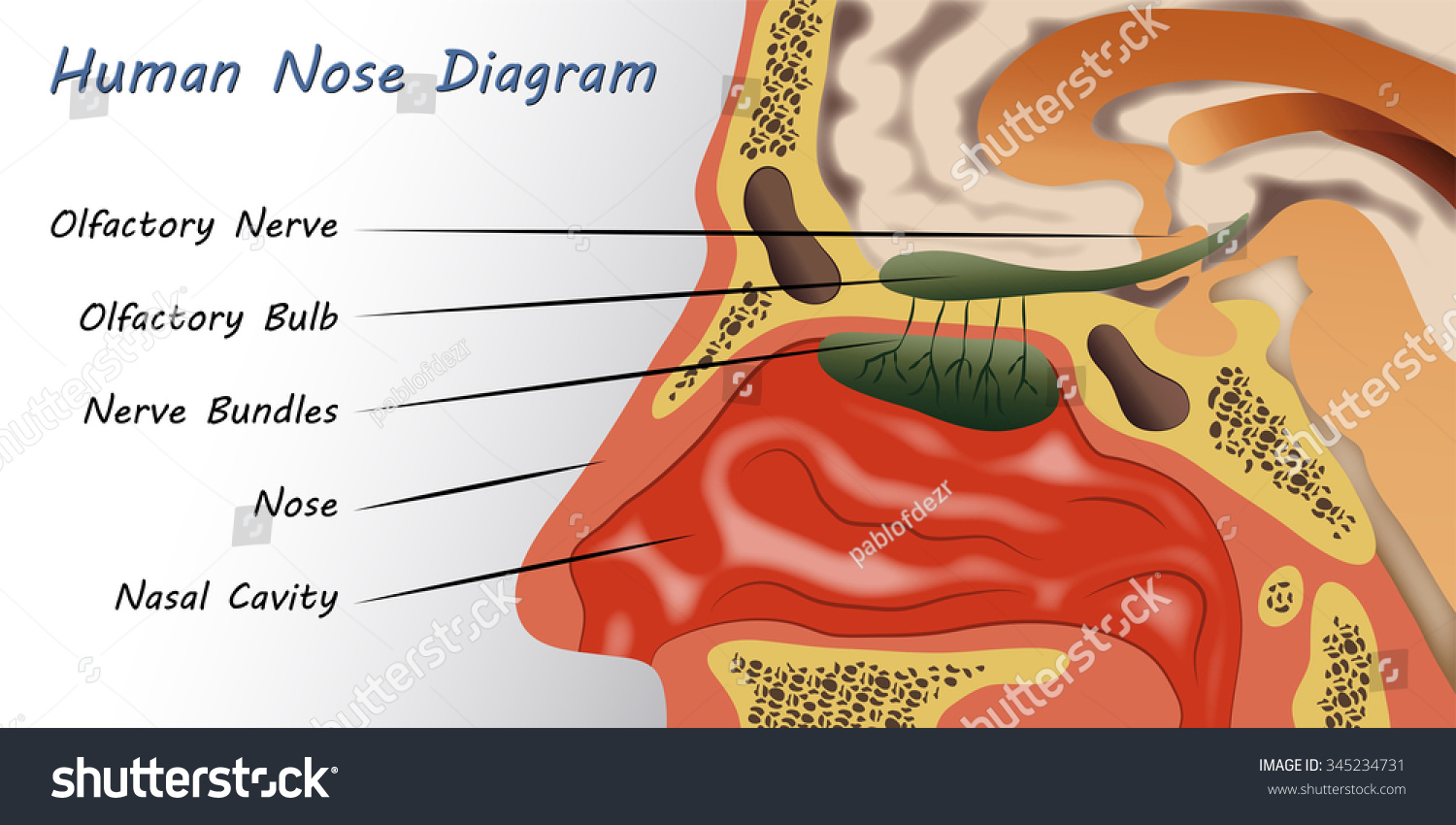 human nose diagram stock vector illustration 345234731 shutterstock : nose diagram - findchart.co