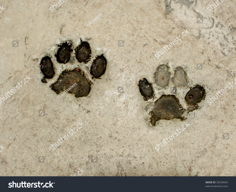 Real Tiger Footprints Stock Photo 34534045 Shutterstock