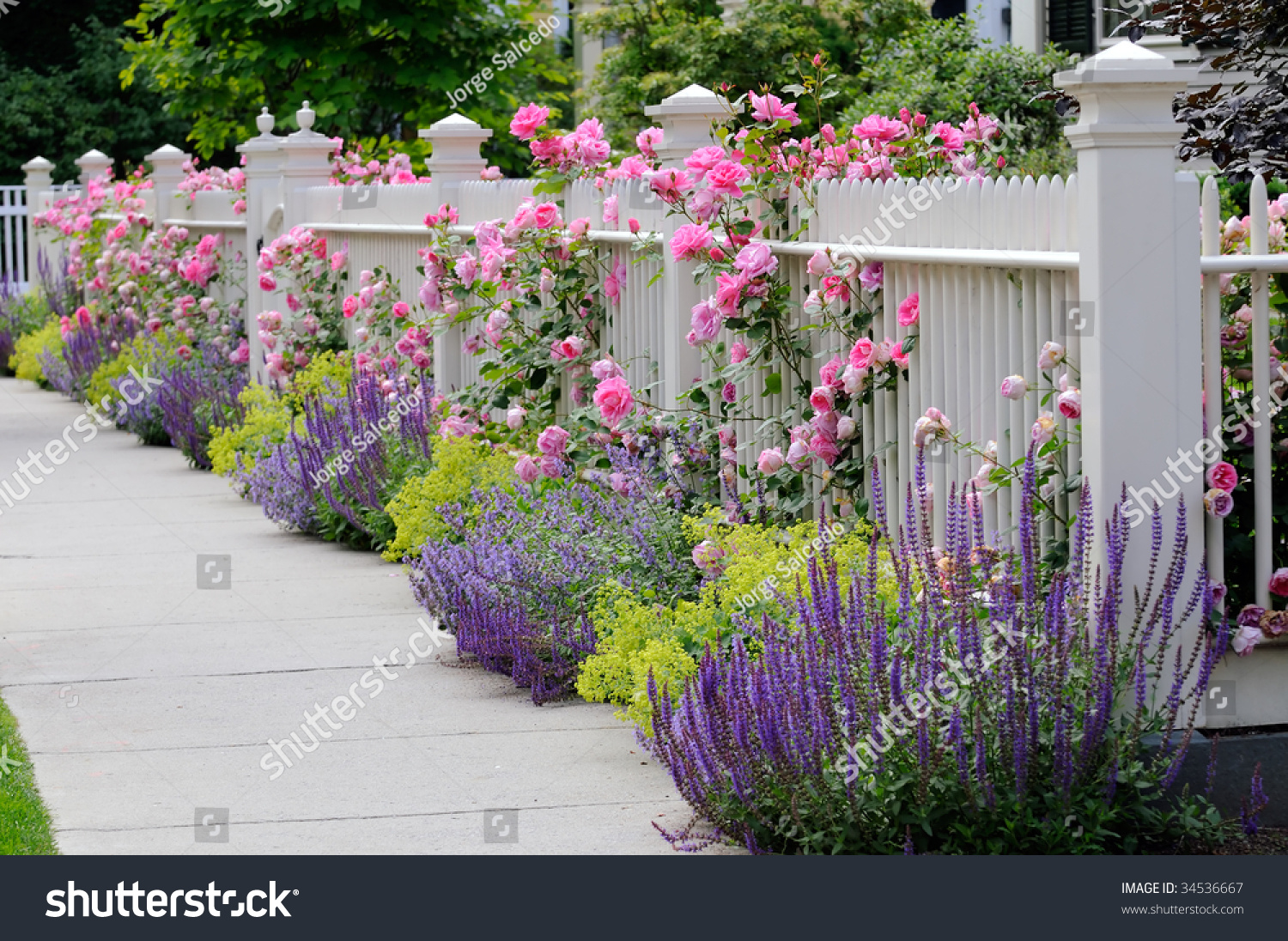 Pink Climbing Roses On White Fence Stock Photo Edit Now 34536667