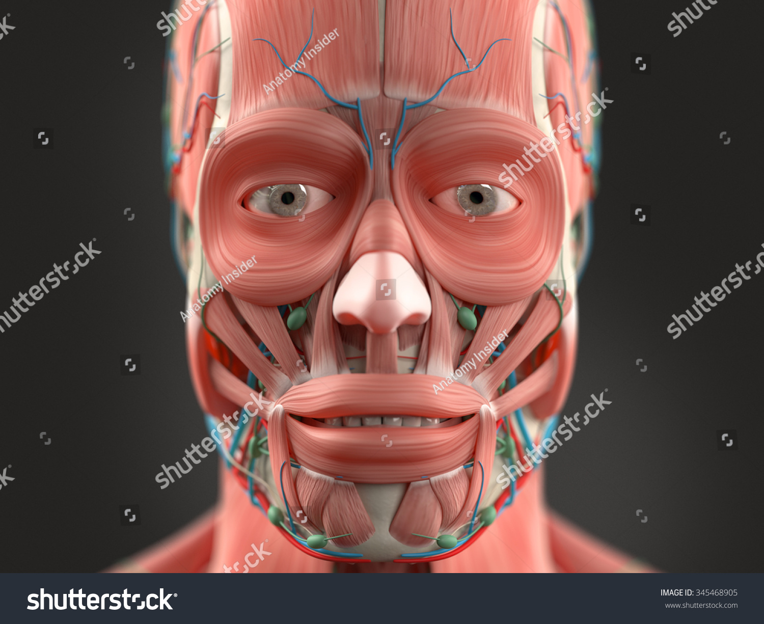 Human Anatomy Face Head Closeup Showing Stock Illustration 345468905 ...