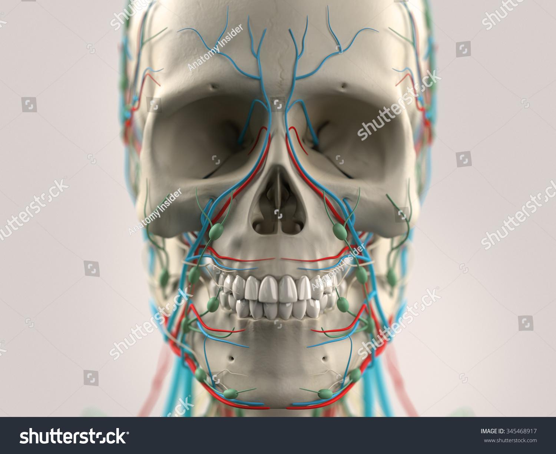 Human Anatomy Face Head Closeup Showing Stock Illustration 345468917 ...