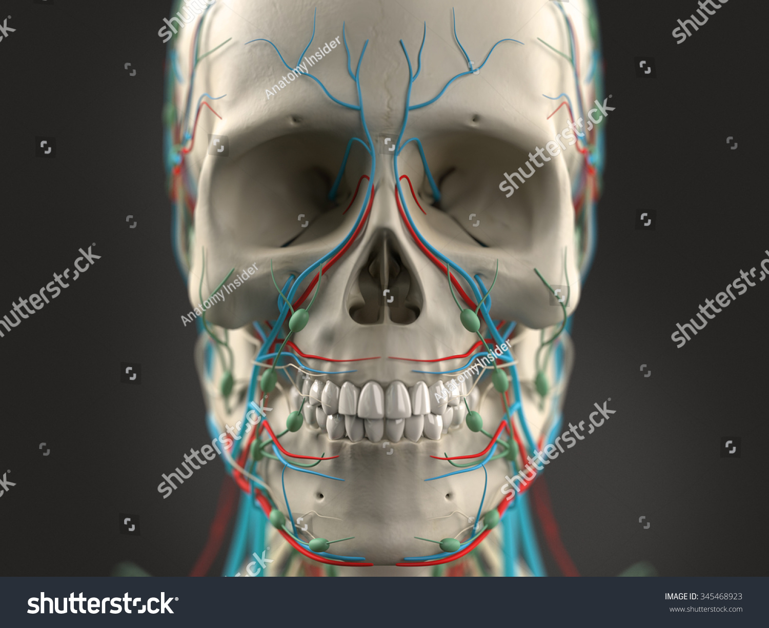 Human Anatomy Face Head Closeup Showing Stock Illustration 345468923
