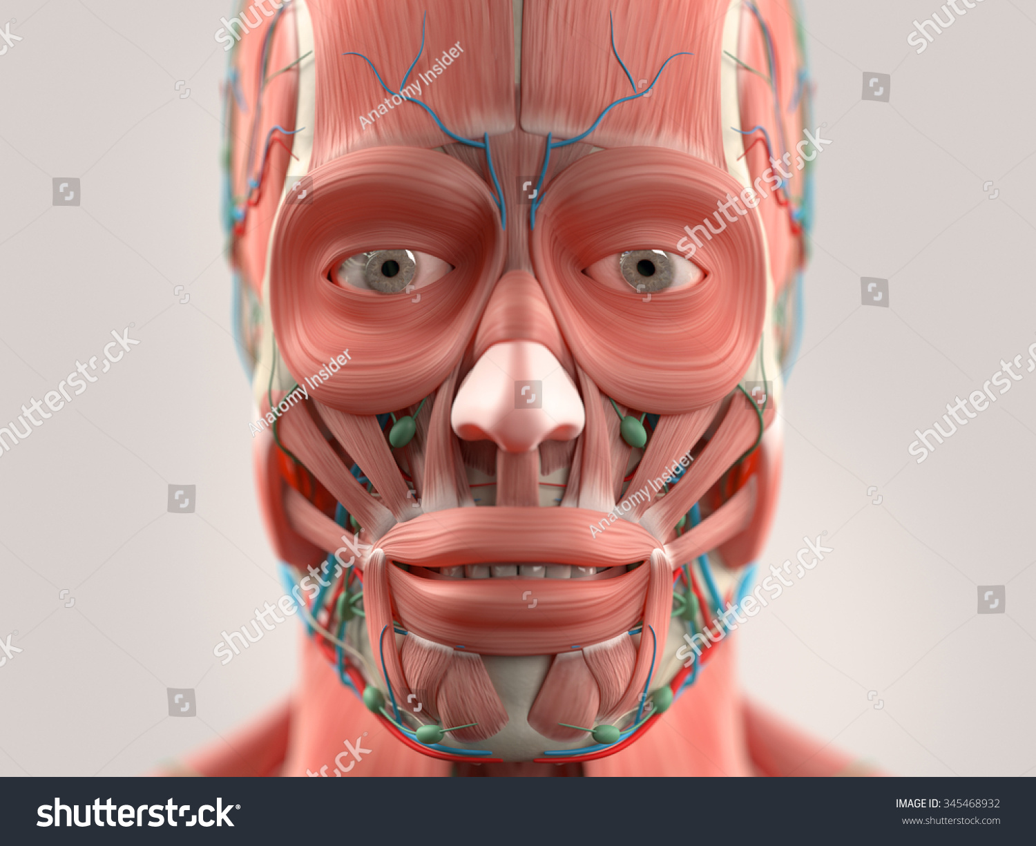 Human Anatomy Face Head Closeup Showing Stock Illustration 345468932