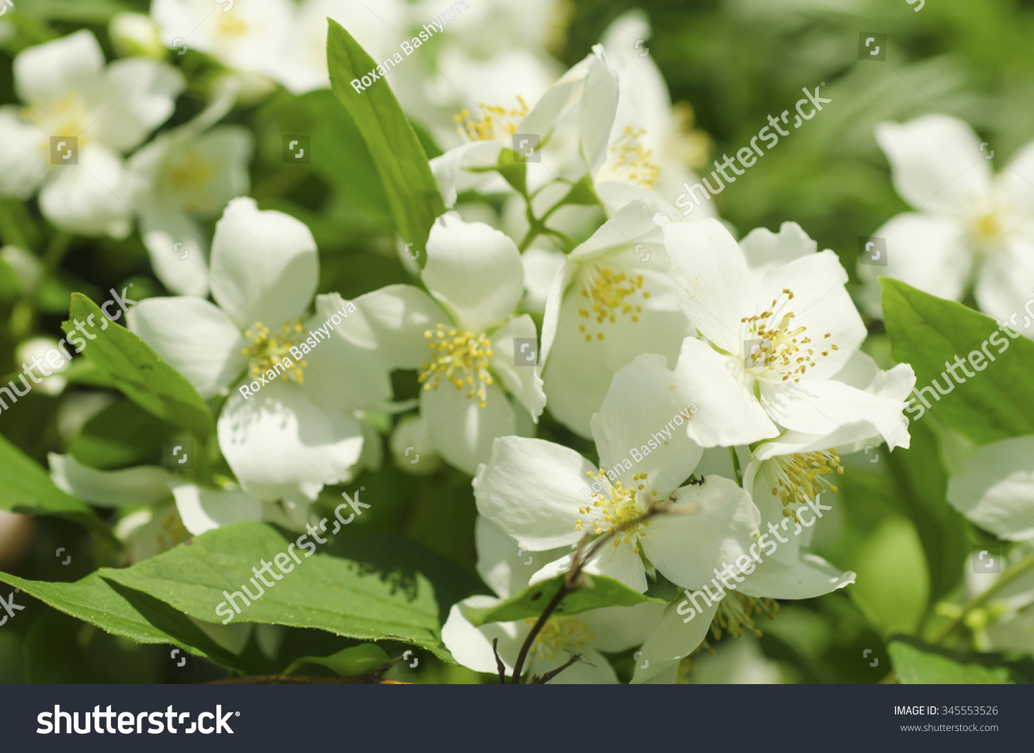 Jasmine flower growing on bush garden stock photo edit now jasmine flower growing on the bush in garden natural floral background izmirmasajfo
