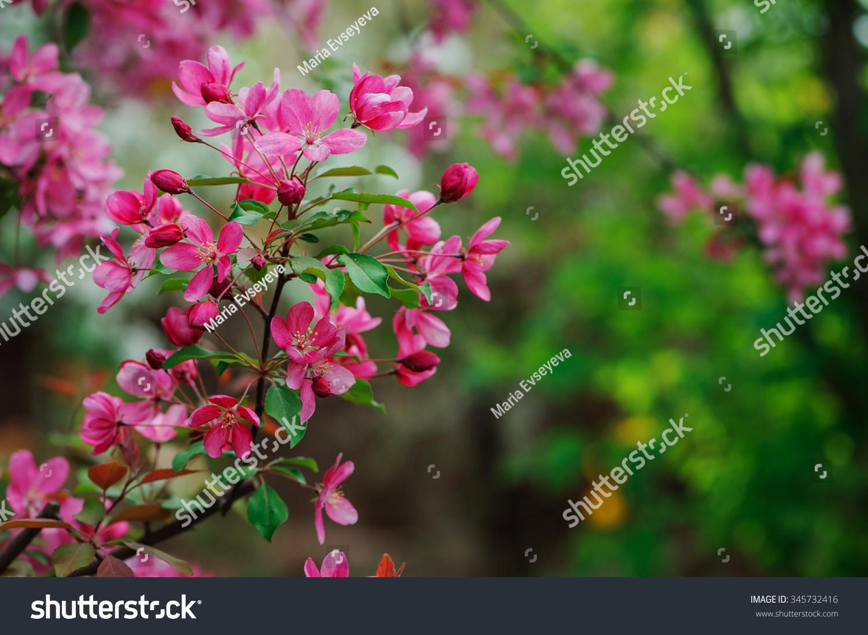 Weigela Florida Flowering Bush Spring Garden Stock Photo Edit Now