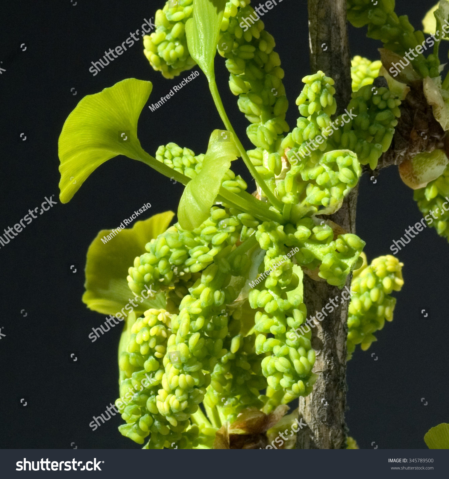 Ginkgo Biloba Gender Male Blossom Stock Photo 345789500 - Shutterstock