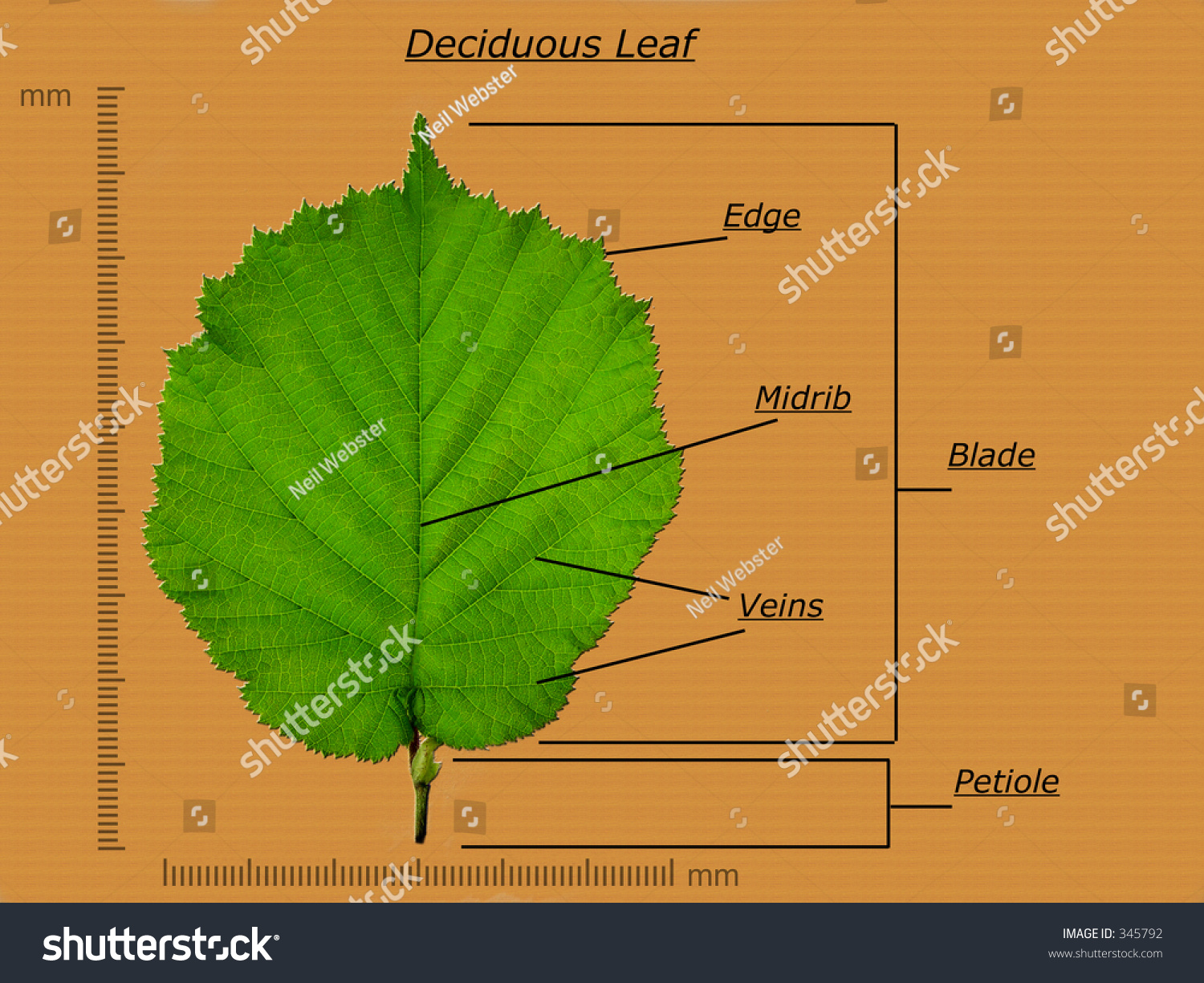 Leaf diagram stock photo 345792 shutterstock leaf diagram pooptronica Choice Image