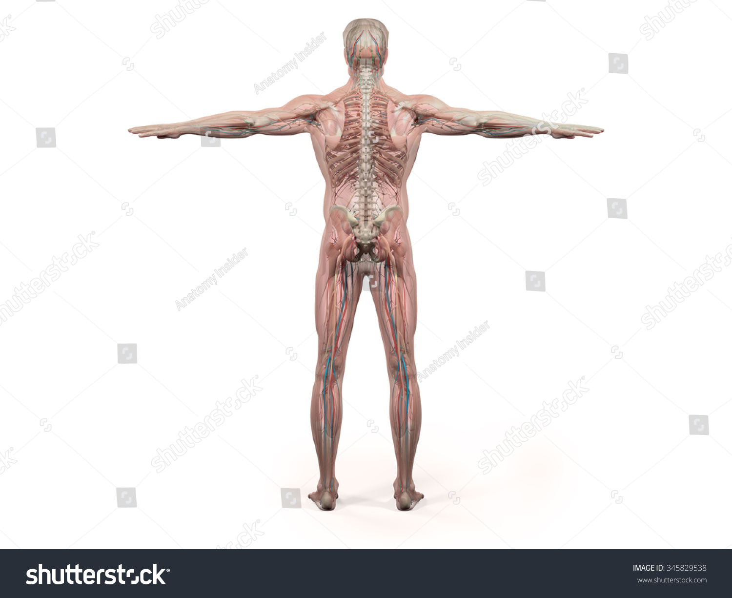 Human Anatomy Showing Back Full Body Stock Illustration 345829538 ...