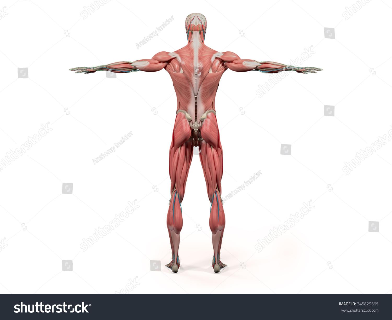 Human Anatomy Showing Back Full Body Stock Illustration 345829565 ...