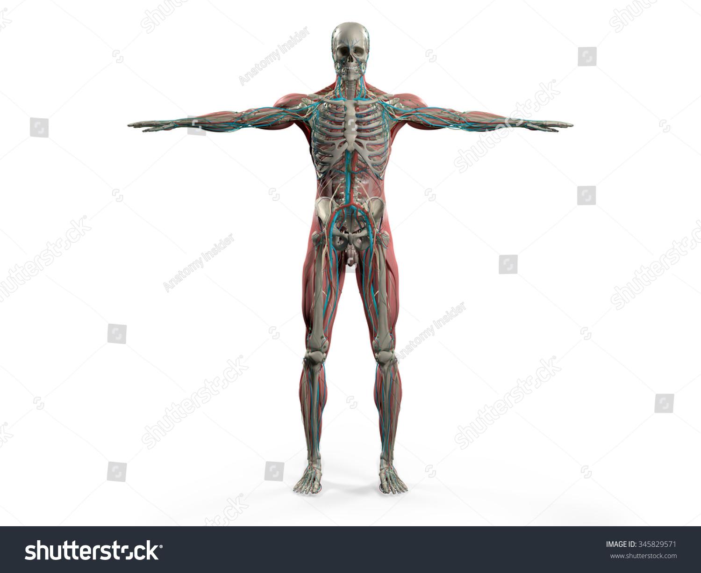 Human Anatomy Showing Back Full Body Stock Illustration 345829571 ...
