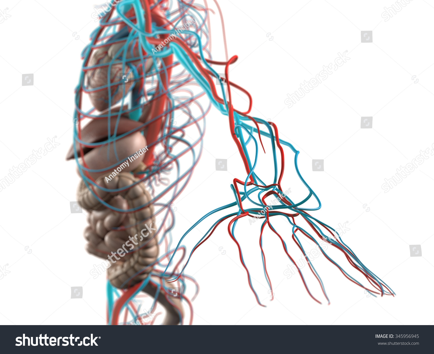 Human Anatomy Side View Abdomen Organs Stock Illustration 345956945