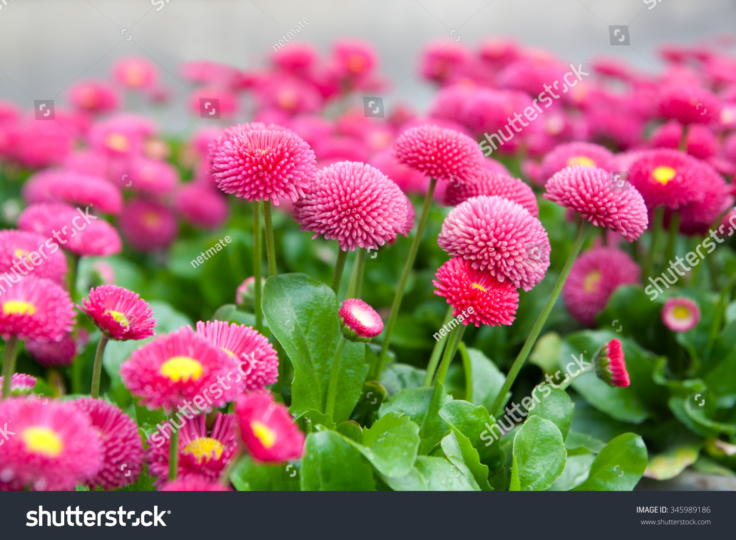 Pink asters yellow core growing flowerbed stock photo edit now pink asters with yellow core growing in flowerbed petals of this flower look like small izmirmasajfo