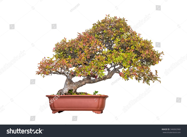 Bonsai Tree Chinese Elm Autumn White Stock Photo Edit Now