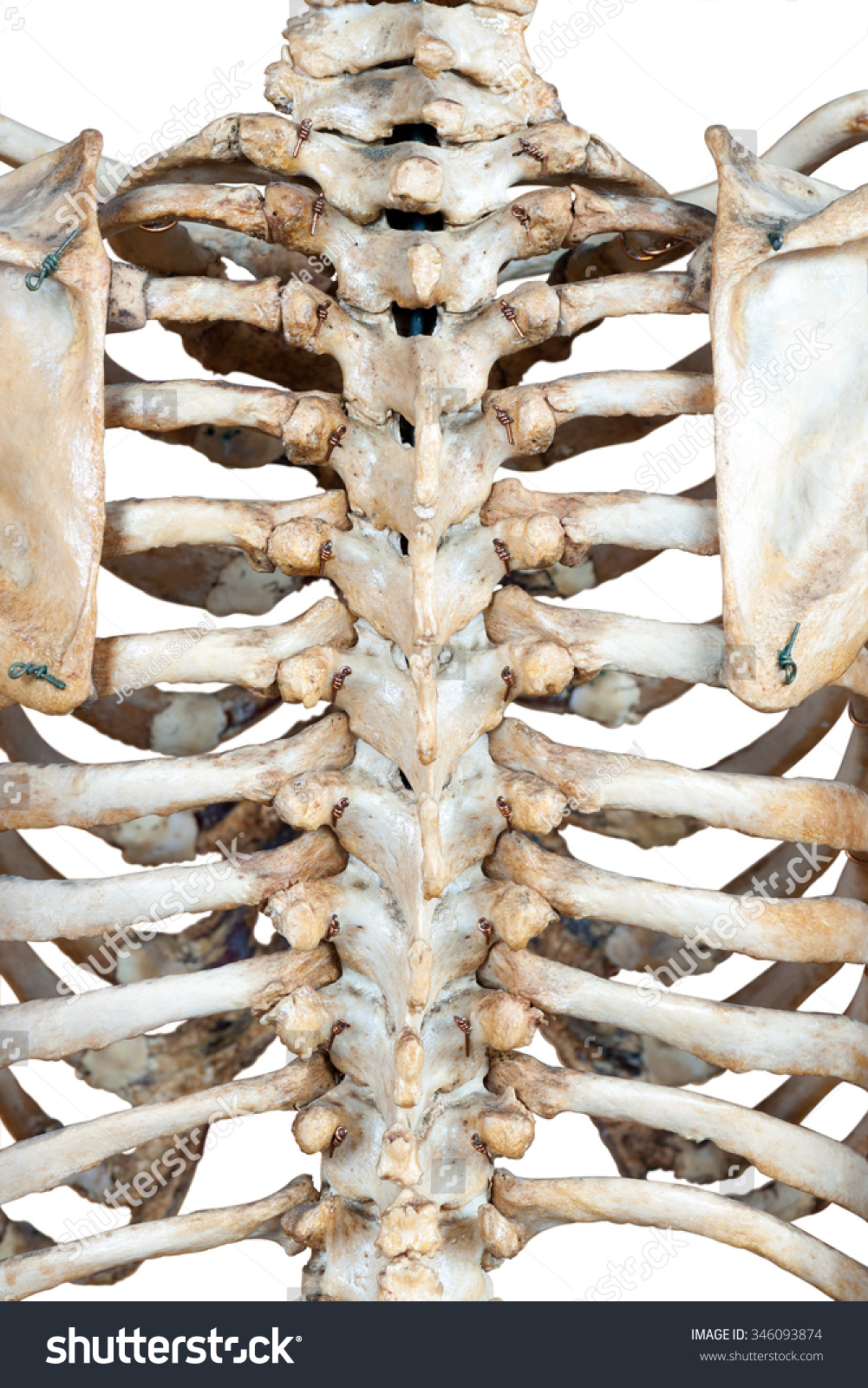 Human Back Bones Stock Photo Edit Now 346093874 Shutterstock