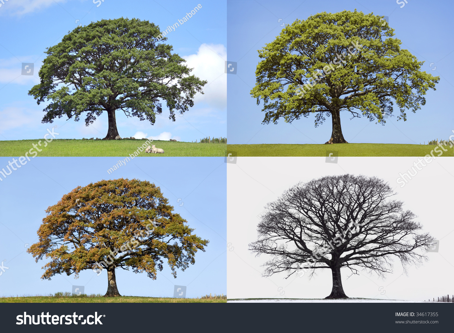 Oak tree time lapse in the four seasons of spring summer fall and winter in rural countryside - Autumn plowing time all set for winter ...