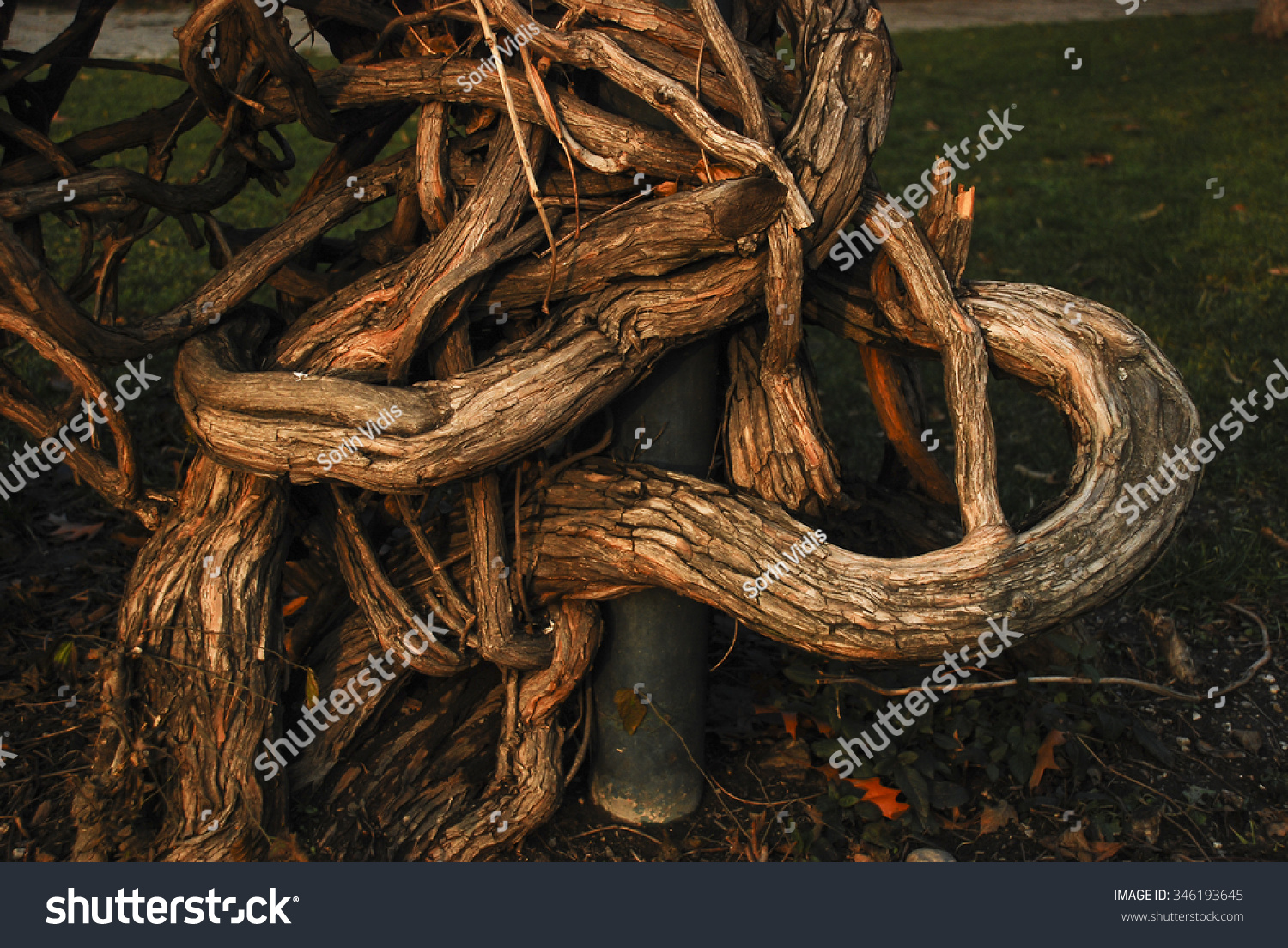 Italian Florence: Wooden Embrace/Weird Bush With Its Branches Intertwined